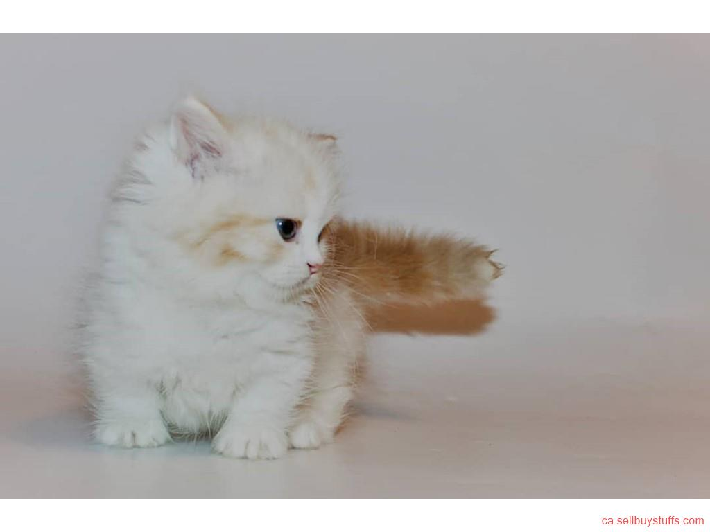 second hand/new: Royal Munchkin Kittens
