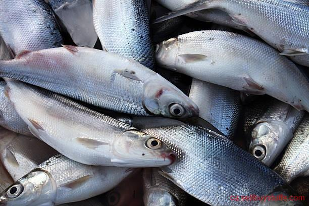 second hand/new: Bangus Supplier