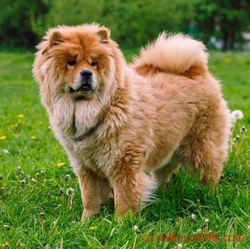 second hand/new: chow chow puppy